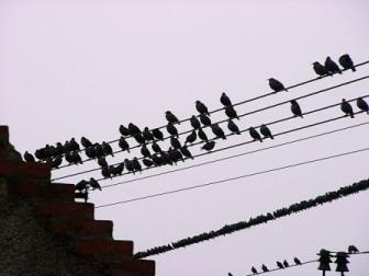 blackbirds luck or coincidence